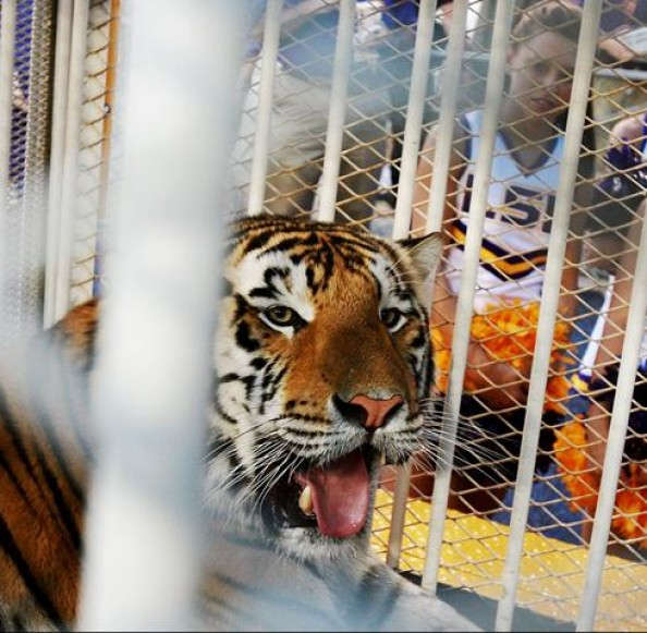 Mike the tiger e1346945389448 Best Real Animal Mascots in College Football