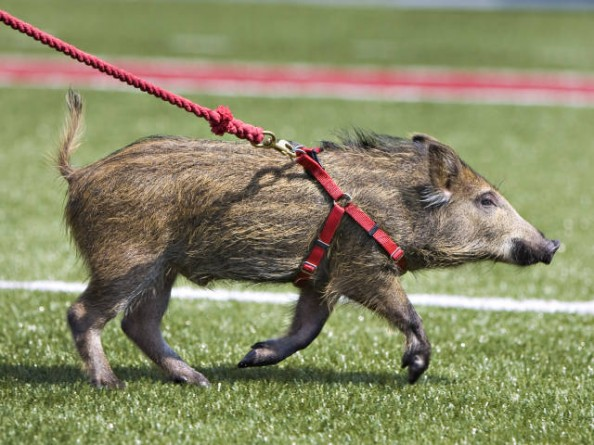 Tusk e1346945028869 Best Real Animal Mascots in College Football