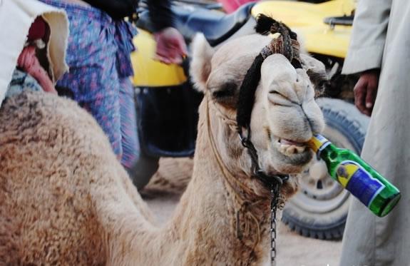 Drunk Camel