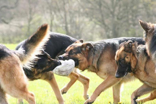 German Shepherds Footie