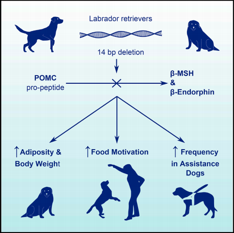 Labrador Gene Study