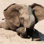 Crying Elephant