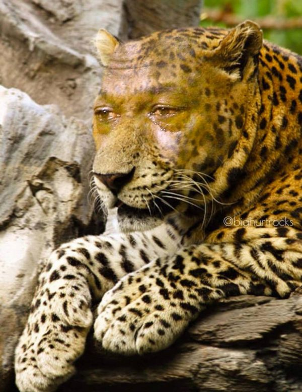Jaguar Crying Jordan
