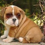 Bulldogs Crying Jordan