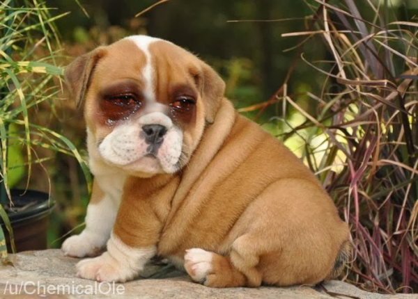 Bulldogs Crying Jordan